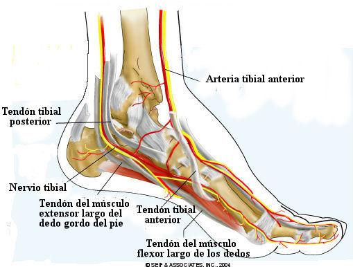 Resultado de imagen para estructura del pie humano